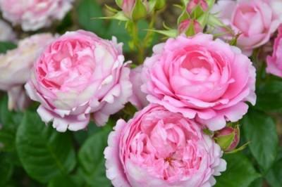 rosier generosa parfume chantal mérieux