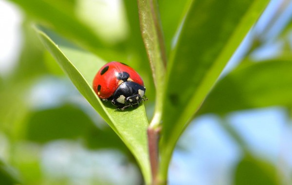 Installer une maison à insectes, accueillir des coccinelles au jardin