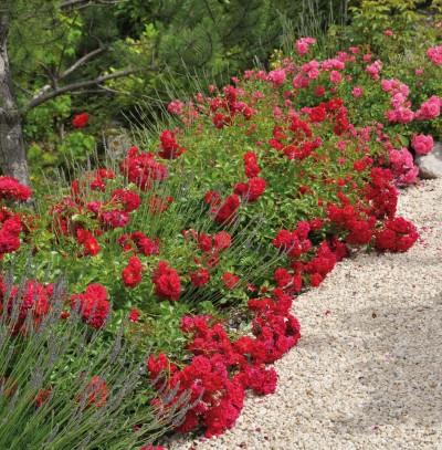rosier adr, rosier couvre-sol KADORA