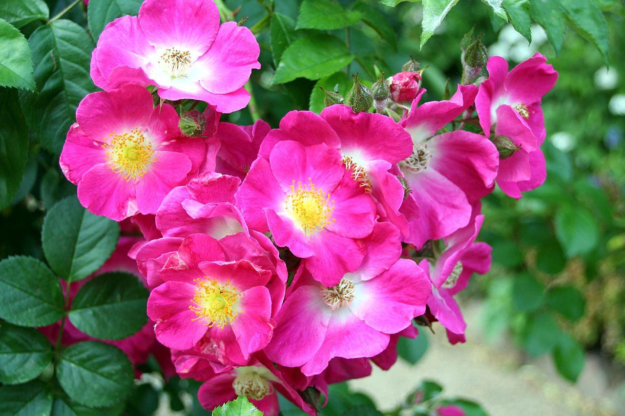 Rosiers sans pine rosa american pillar roseraie guillot - Rosier grimpant sans epine ...