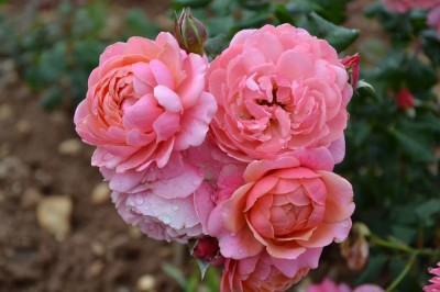 les 20 meilleurs rosiers pr f r s des jardiniers roses guillot. Black Bedroom Furniture Sets. Home Design Ideas