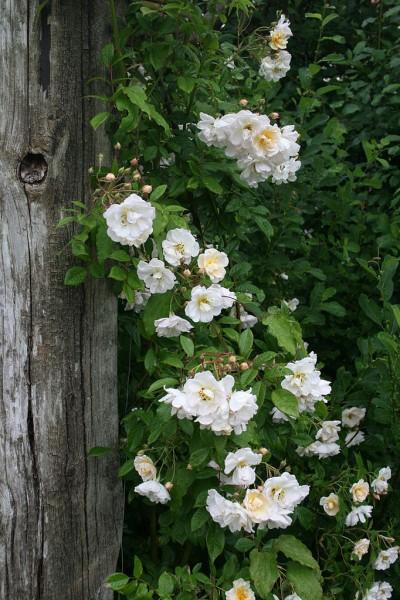 Tailler le rosier liane