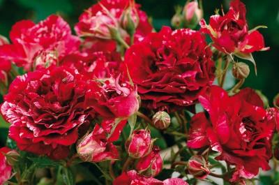 Rosier fleurs groupees 'belle d'espinouse'