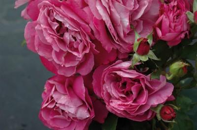 rosier très parfume grandes fleurs bossuet aigle de meaux