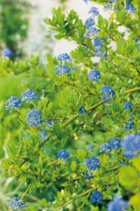 Arbustes persistants aux fleurs bleues