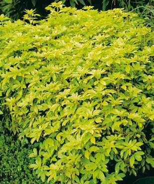 Très beau feuillage d'arbustes persistants