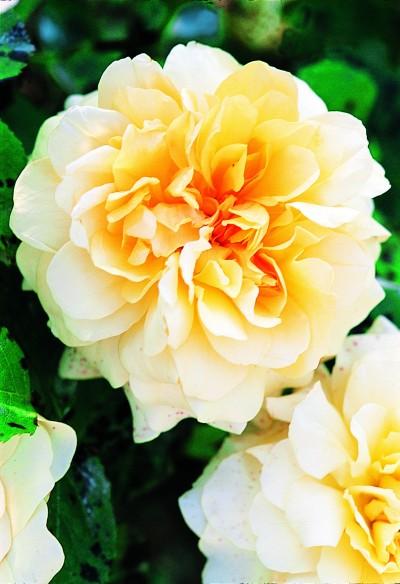 Hybridation : le rosier Générosa parfumé Claudia Cardinal