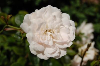 rosier-ancien-cuisse_de_nymphe