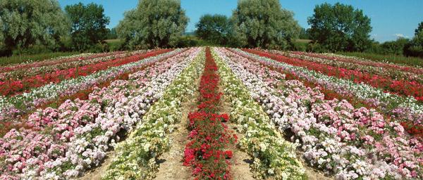 Les rosiers Guillot sont cultivés en plein champ en Isère.