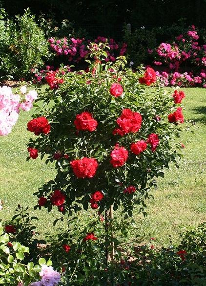 rosier-Decorosiers-Kadora-tige