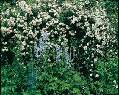 Felicite-Perpetue à gauche et Bobbie James à droite; 2 rosiers lianes