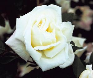 planter les arbustes à l'automne rosier gloire lyonnaise