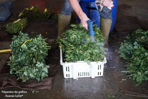 Aspersion des branches pour garder la fraicheur des greffons en attente de préparation.