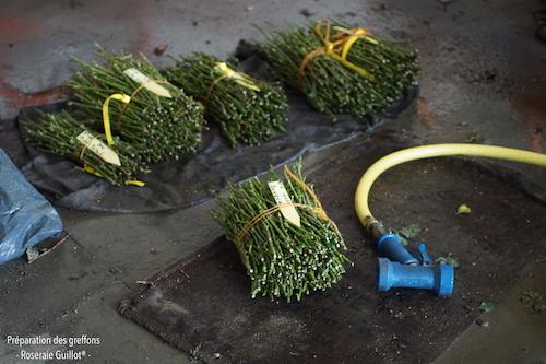 Les greffons sont aspergés d'eau pour garder leur fraicheur jusqu'à leur utilisation