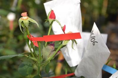 Le rosier pollinisé est etiqueté