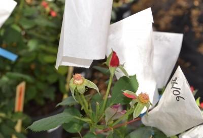Sachet sur le rosier pour empêcher la pollinisation