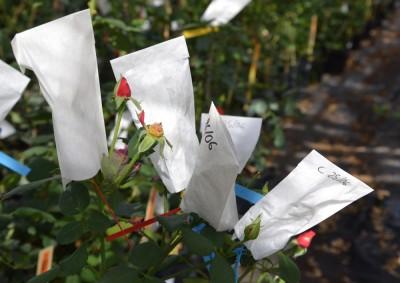 Le rosier pollinisé à nouveau couvert d'un sachet