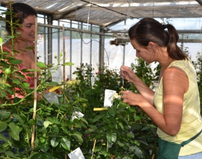 L'hybridation des rosiers