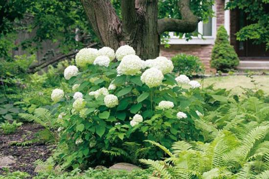 planter les arbustes à l'automne hydrangea arborescens Annabelle