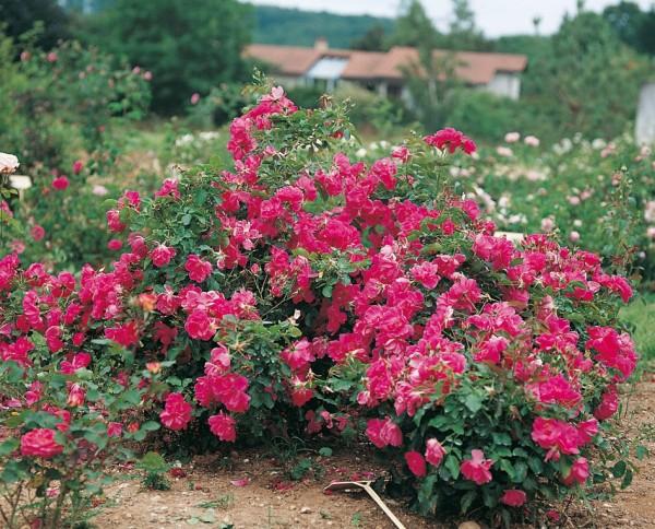rosier à fleurs groupées isabelle mainoz