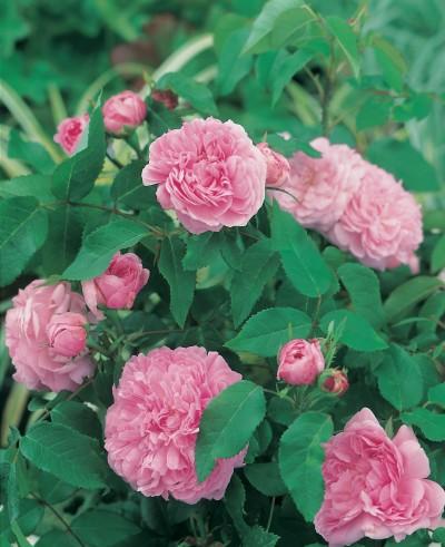 rosier ancien de Portland Jacques Cartier