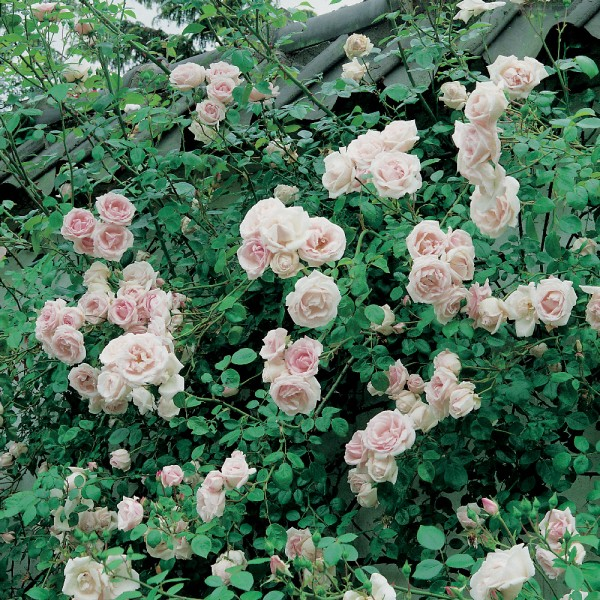 Le rosier grimpant new dawn roses guillot - Comment tailler un rosier grimpant ...
