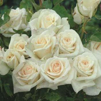 La rose Françaix