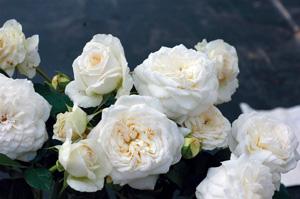 rosier-à-grandes-fleurs-Blanche-de-Castille