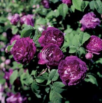 couleur des roses : le rosier mauve