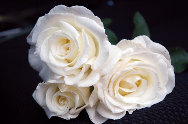 Découvrir rosiers grandes fleurs Rosier Frédéric Dard Roseraie Guillot