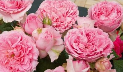 l'arrosage du rosier Générosa Elodie Gossuin