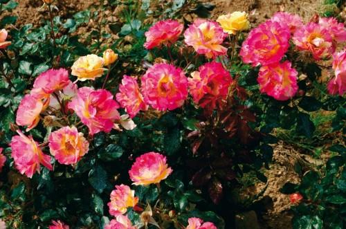 quand planter ses rosiers ?