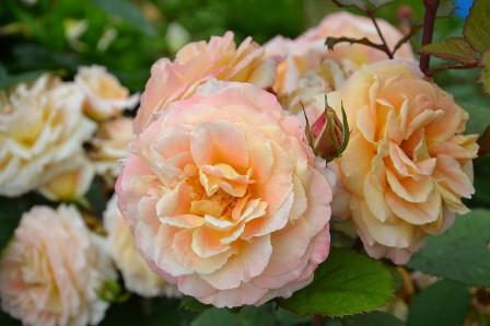 Quelle terre pour les rosiers roses guillot - Quelle terre pour hortensia ...