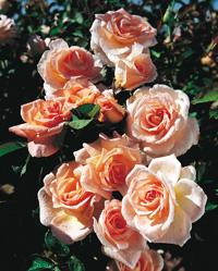 rosier-fleurs-groupees-flirtatious