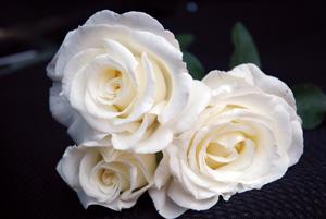 Rosier contemporain Frédéric Dard, rosier blanc pour vos massifs