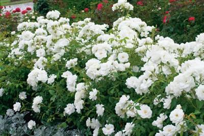Couleur des roses, le rosier Iceberg