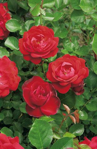 rosier-lili-marlene-fleurs-groupees
