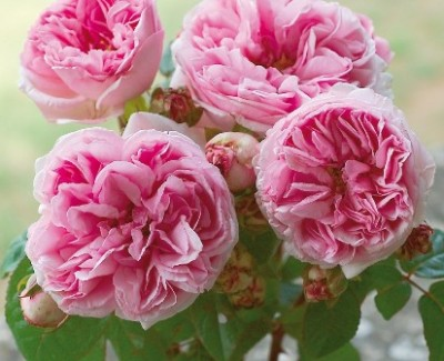 Rosier ancien parfumé Madame Ernest Calvat