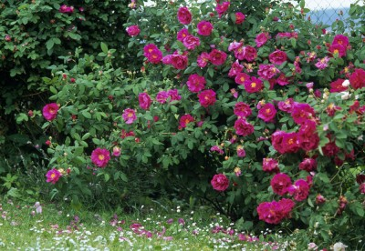 rosier-rose-de-provins-ancien