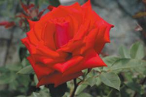 rosier-parfumé-générosa-Georges-Duboeuf-rouge-vif
