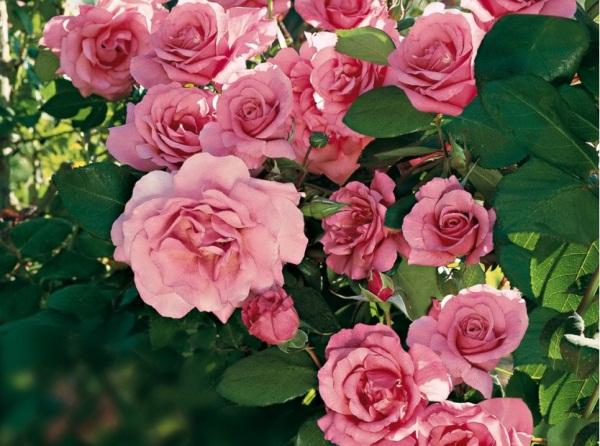 rosier grimpant parfume social climber roses guillot. Black Bedroom Furniture Sets. Home Design Ideas
