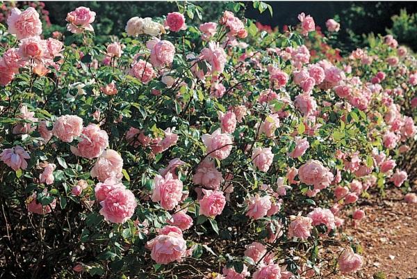 distance de plantation des rosiers roses guillot. Black Bedroom Furniture Sets. Home Design Ideas