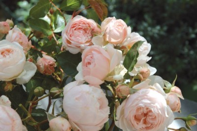 Rosier generosa parfumé Chantal Thomass, rosier buisson petites roses