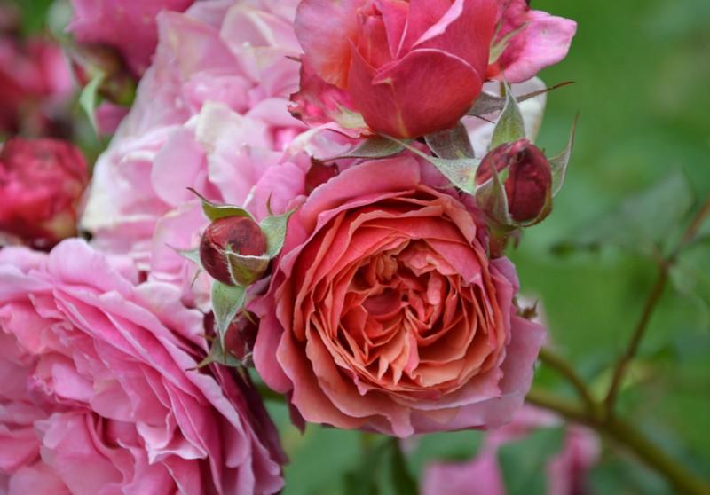 plantation des rosiers en automne