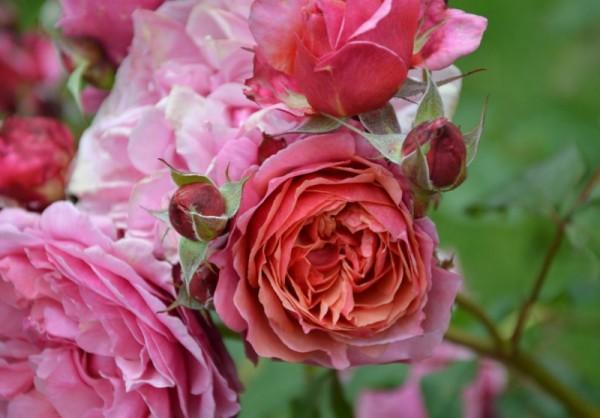 La plantation des rosiers en automne rose guillot - Rouille rosier traitement naturel ...