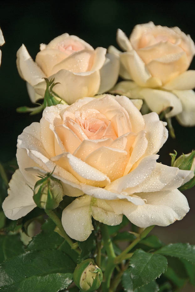 Rosier grandes fleurs sweet love