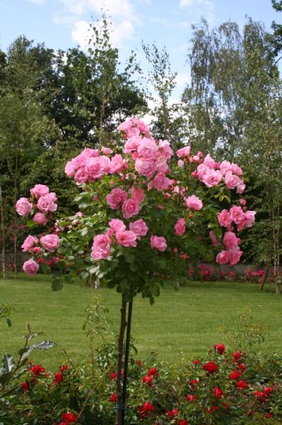 rosier tige Mareva Decorosiers, bel effet décoratif - Roseraie Guillot