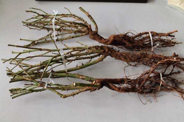plantation des rosiers à racine nues