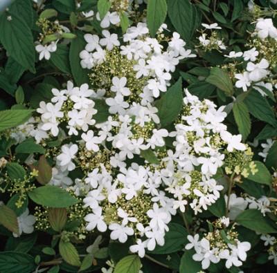 planter les arbustes à l'automne Viorne plicatum 'Watanabe'