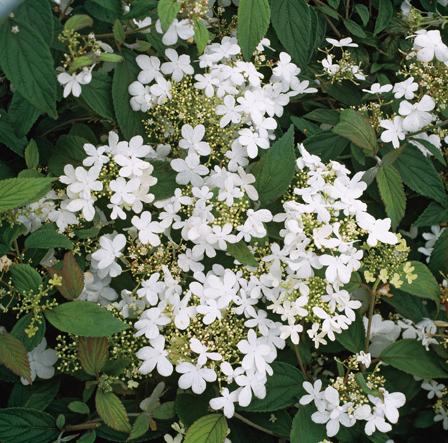 viorne plicatum 39 watanabe 39 arbuste floraison printani re guillot. Black Bedroom Furniture Sets. Home Design Ideas
